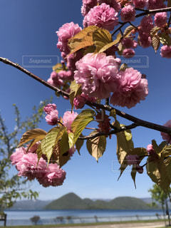 桜の写真・画像素材[495675]