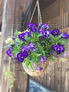 紫の写真・画像素材[495777]