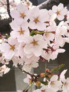 北海道の桜🌸の写真・画像素材[1176903]