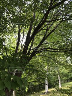 大きな木の写真・画像素材[1306605]