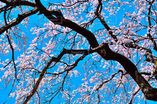 桜 - No.450406