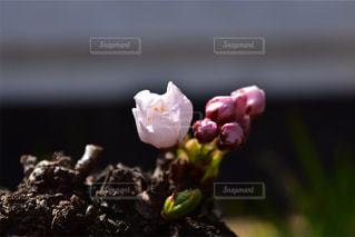 桜 - No.451838