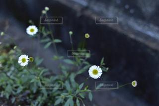白い花 - No.454253