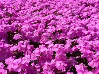お花畑の写真・画像素材[451103]