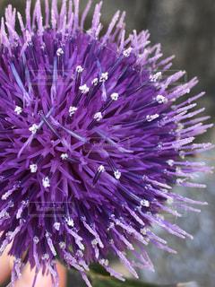 紫色の花のクローズアップの写真・画像素材[3149471]