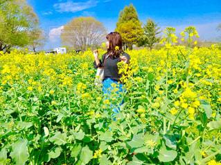 菜の花の写真・画像素材[454274]