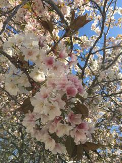 桜の写真・画像素材[453047]