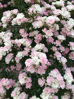 花の写真・画像素材[453382]