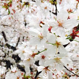 桜 - No.454673