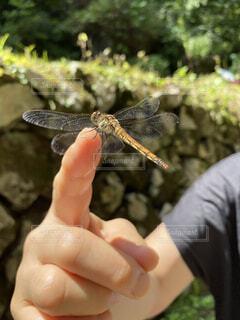 指にとまるトンボの写真・画像素材[3622990]