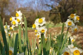 スイセンの花たち💐の写真・画像素材[1012289]