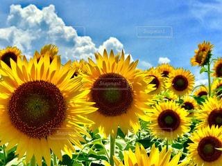向日葵、ひまわり、畑、綺麗、黄色、癒し、風景、景色、花の写真・画像素材[619685]
