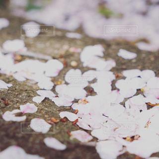 桜 さくら 花びら 春 訪れ 春の終わりの写真・画像素材[455060]