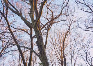 冬の森の木々.の写真・画像素材[987352]