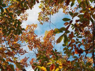 紅葉したクヌギの葉の写真・画像素材[2063494]