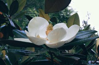タイサンボクの花の写真・画像素材[2072315]