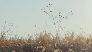 枯れ草と空の写真・画像素材[2125091]