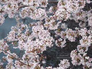 川沿いの桜の花の写真・画像素材[2163044]