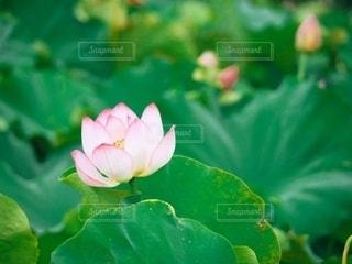 蓮の花の写真・画像素材[2687740]