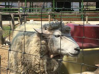 羊の写真・画像素材[456673]