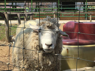 羊の写真・画像素材[456676]