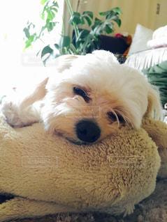 犬の写真・画像素材[457638]