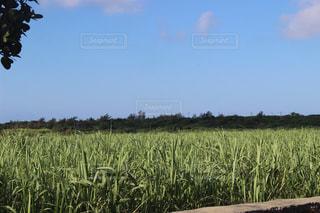 さとうきび畑の写真・画像素材[459360]