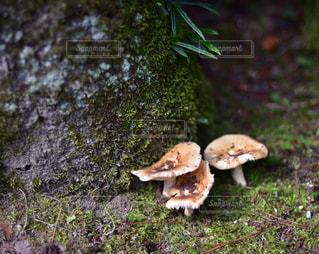 菌が木に成長しての写真・画像素材[867832]