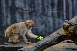枝の上に座って猿の写真・画像素材[878040]