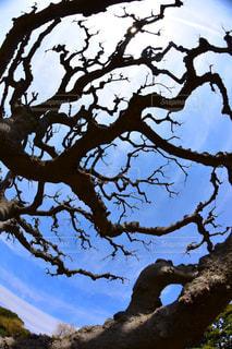 大きな木の写真・画像素材[906068]