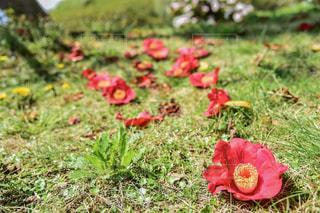フィールドに赤い花の写真・画像素材[924808]