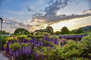 曇りの日に紫の花のグループの写真・画像素材[924813]