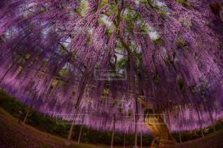 紫色の花と木の写真・画像素材[961878]