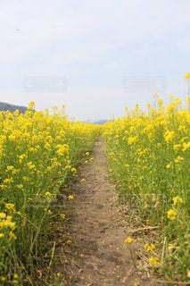 菜の花の写真・画像素材[459622]