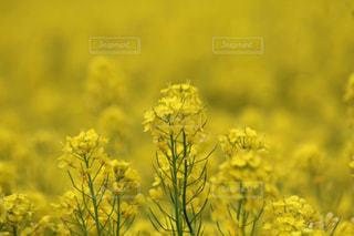 菜の花の写真・画像素材[459624]