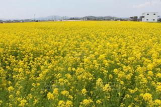 菜の花の写真・画像素材[459626]