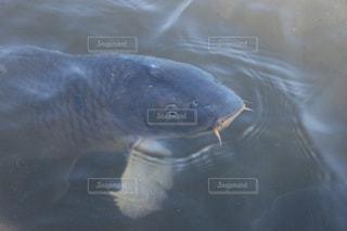 鯉の写真・画像素材[458913]