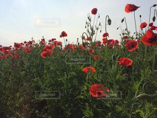 花の写真・画像素材[488098]