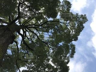 大きな木の写真・画像素材[822105]