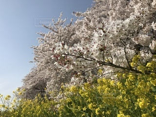 桜と菜の花の写真・画像素材[1100344]