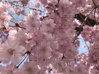 しだれ桜 アップの写真・画像素材[1100351]