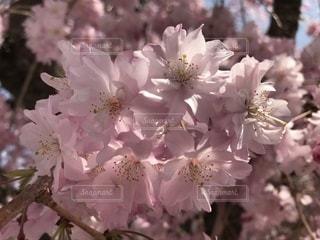 しだれ桜 アップの写真・画像素材[1100352]