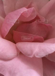 ピンクの薔薇 クイーンエリザベス - No.1159264