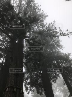 三峰神社御神木の写真・画像素材[1171403]