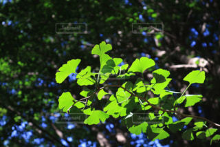 緑のイチョウの写真・画像素材[1162801]