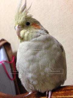 #オカメインコ#鳥#癒やし#かわいい#ペット - No.461031