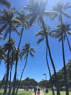 ハワイ、アラモアナのヤシの木の写真・画像素材[1158492]