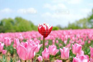 ピンクの花のグループの写真・画像素材[1626248]