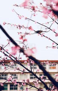 桜の中にの写真・画像素材[2352116]