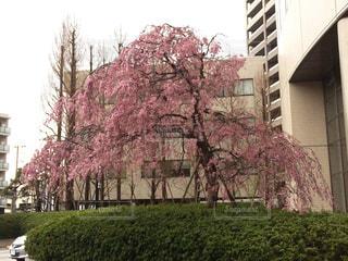 ピンクの写真・画像素材[505955]